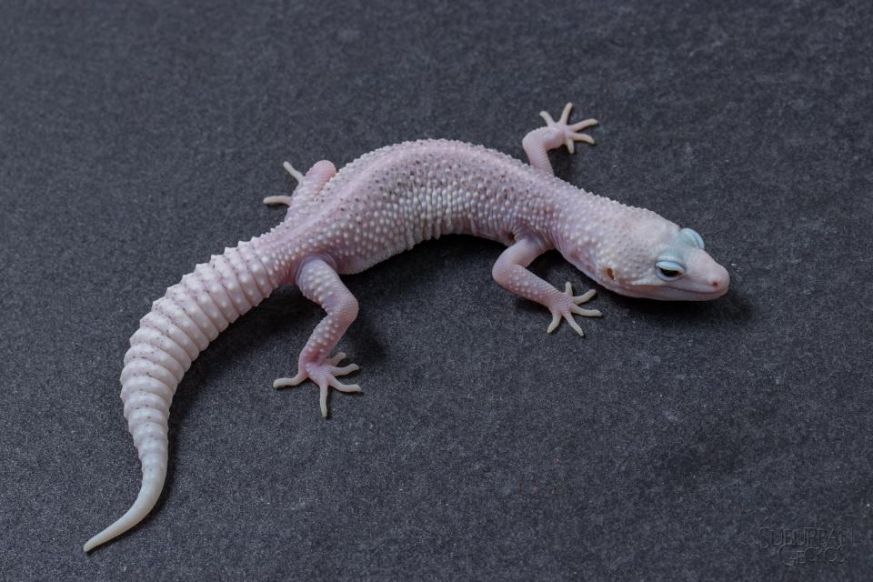 Mon Leopard Gecko Morph Eublepharis Ularius Stan